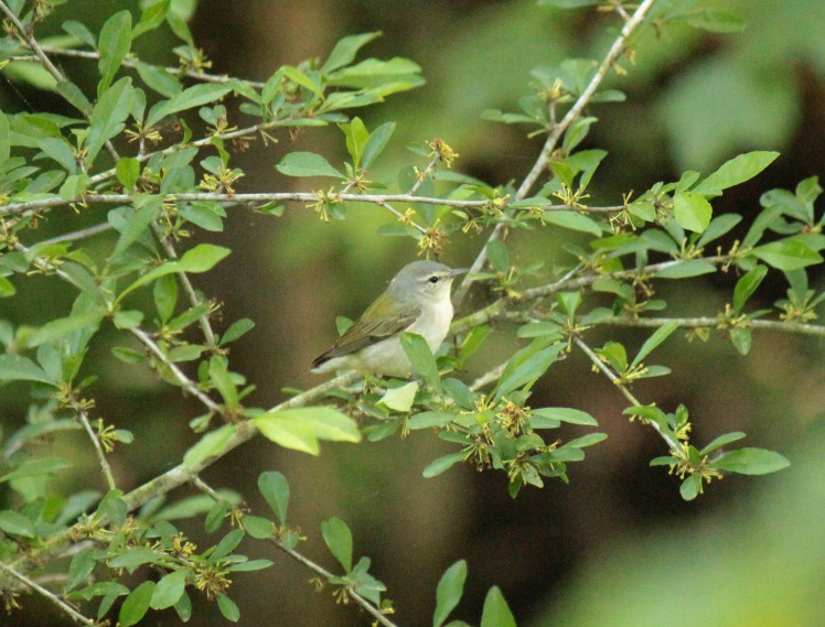 Tennessee Warbler 050616