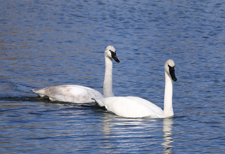 Trumpter Swan4 011920 Magness Lake.JPG