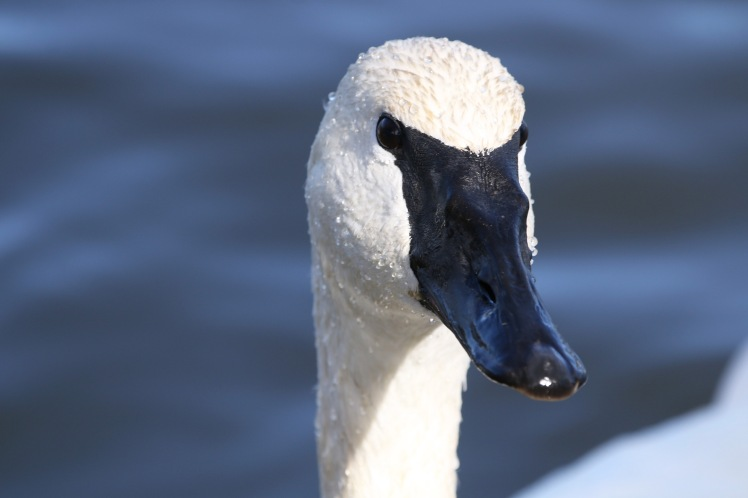 Trumpter Swan6 011920 Magness Lake.JPG