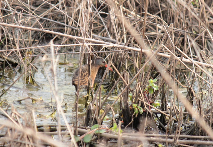 Virginia Rail 042416 BKNWR