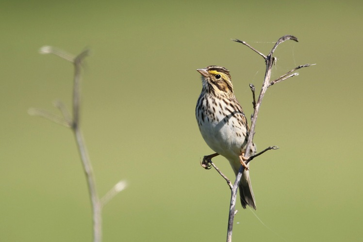 Savannah Sparrow 050519 BKNWR