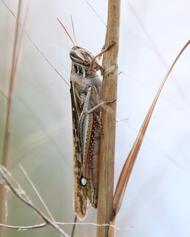 American Bird Grasshopper LR Audubon Center 04122020.JPG