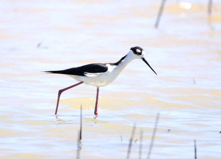 Black-necked Stilt BKNWR 04182020