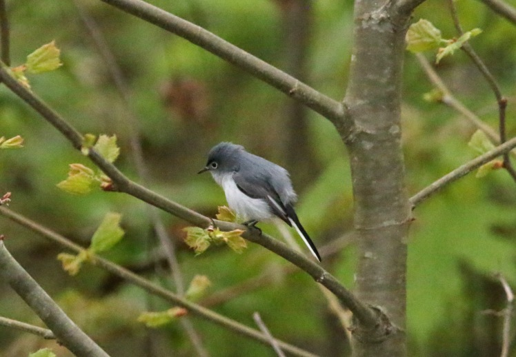 Blue-gray Gnatcatcher1 BKNWR 040420