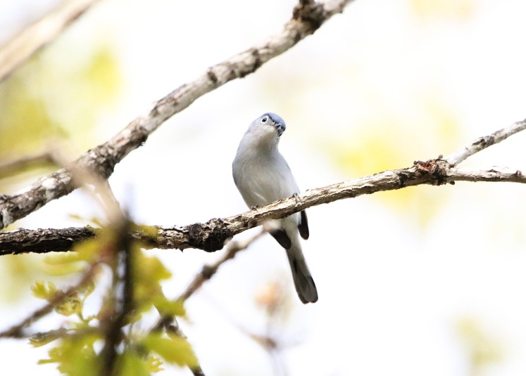 Blue-gray Gnatcatcher4 Bufflehead Bay 04052020