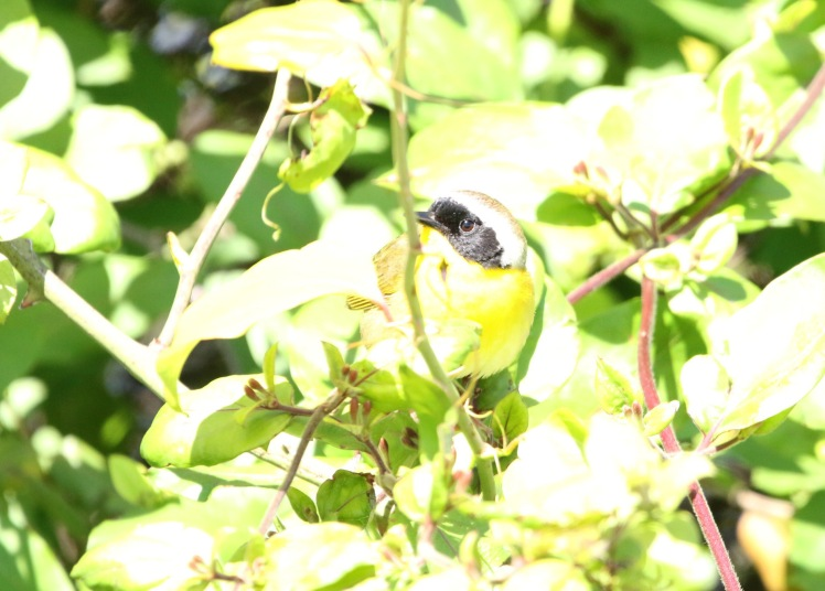 Common Yellowthroat BKNWR 04182020