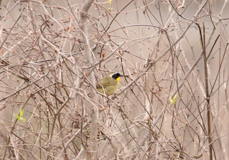 Common Yellowthroat3 BKNWR 040420