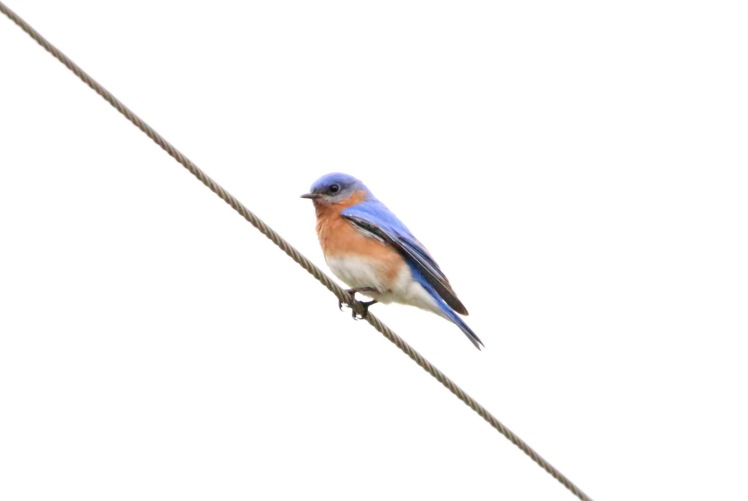 Eastern Bluebird BKNWR 040420