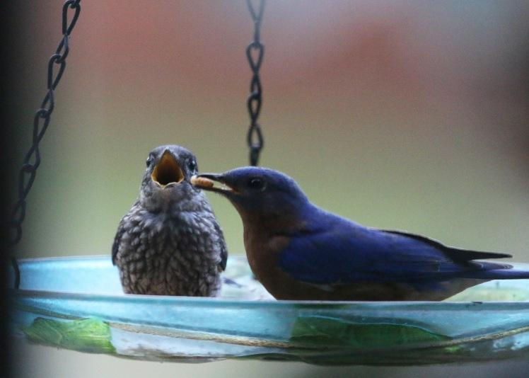 Eastern Bluebird1 BKNWR 04182020.JPG