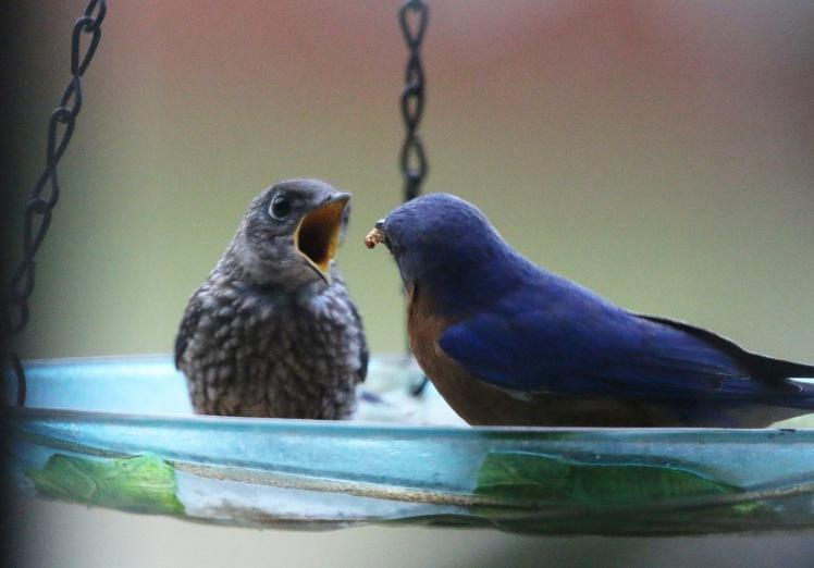 Eastern Bluebird2 BKNWR 04182020.JPG