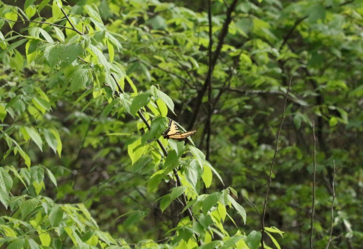 Eastern Tiger Swallowtail Bufflehead Bay 04052020