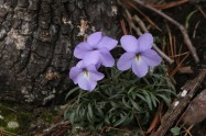 Flower1 032120 Bufflehead Bay
