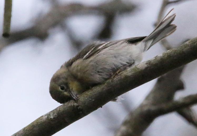 Pine Warbler3 032120 Bufflehead Bay