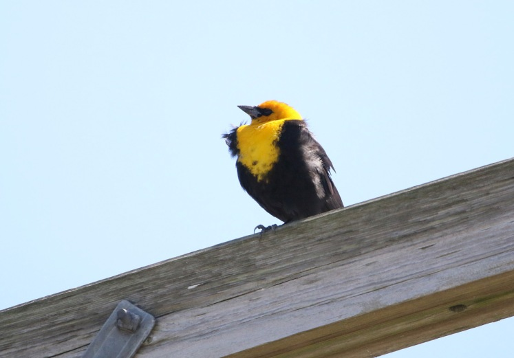 Yellow-headed Blackbird BKNWR 04182020_edited-1