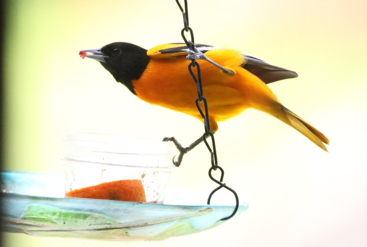 Baltimore Oriole HOME 04262020