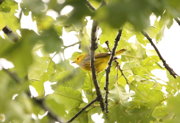 Yellow Warbler2 05172020 836a Bufflehead Bay