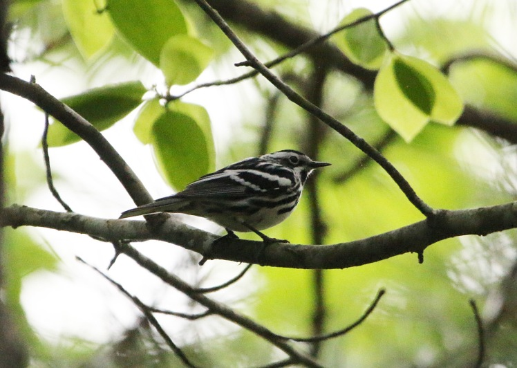 Black-and-white Warbler 04252020 Bell Slough Wildlife Area