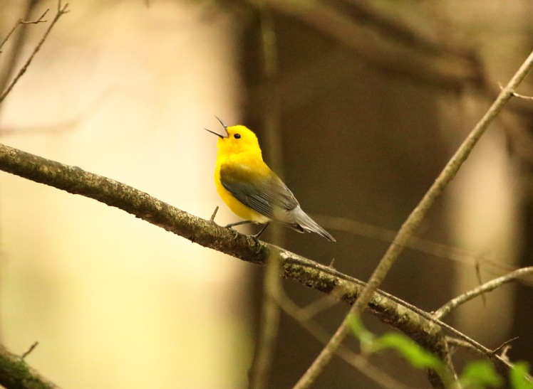 Prothonotary Warbler3 04252020 Bell Slough Wildlife Area